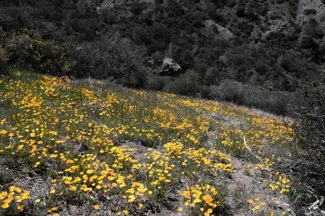 FigueroaWildflowers-2